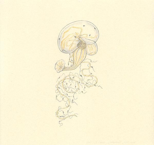 LaureTixier_Siphonophores,  Bassia 2, 2002, aquarelle sur papier, 28,3 x 29,8 cm