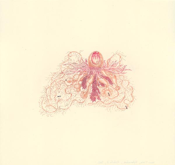 LaureTixier_Siphonophores,  Epibulia 2, 2002, aquarelle sur papier, 28,3 x 29,8 cm