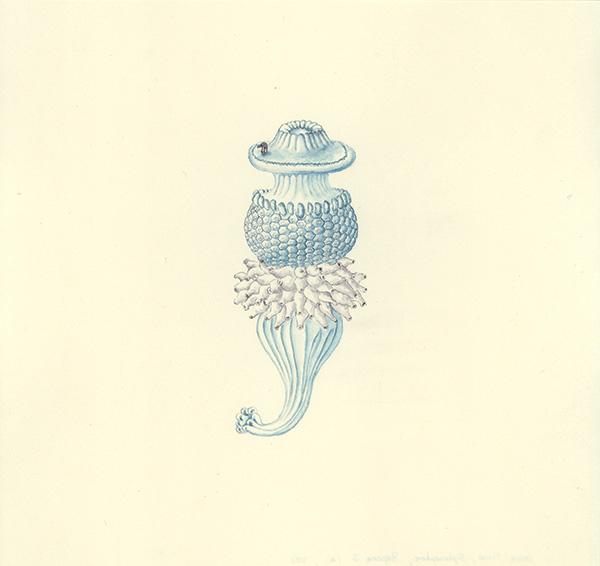 LaureTixier_Siphonophores,  Porpema 2 stade 1, 2002, aquarelle sur papier, 28,3 x 29,8 cm